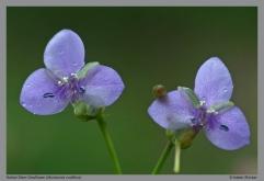 Murdannia nudiflora -1