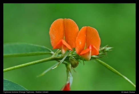 Tephrosia tinctoria-1
