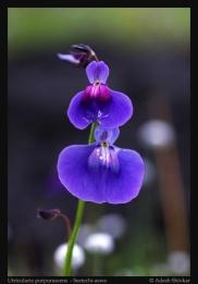 Utricularia-2