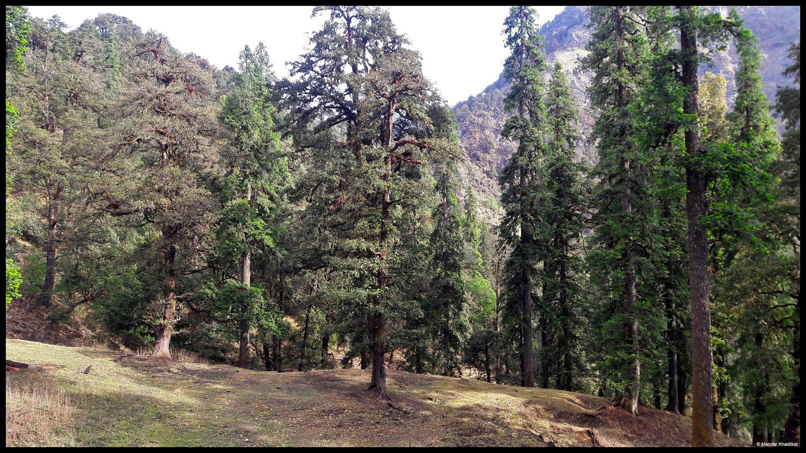 Pine trees_edited