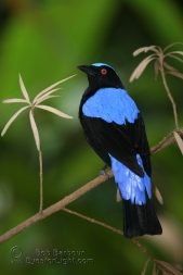 Fairy Bluebird-2