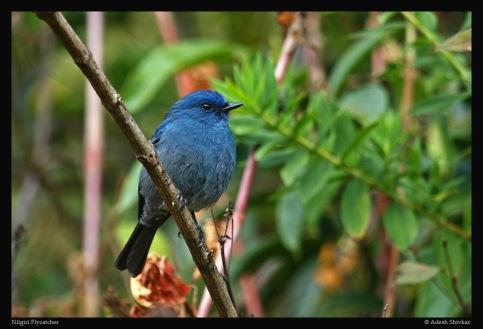 Flycatcher---Nilgiri-1