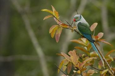 Malabar Parakeet-2