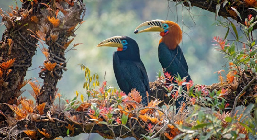 rufous-necked-hornbills-dsc-1847-c.jpg