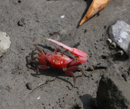 fiddler-crab-4