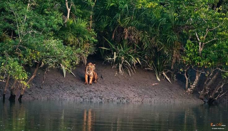 Tiger-Sunderban